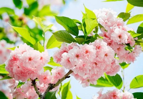 Wizzard and Genius Fotobehang Sakura Blossum