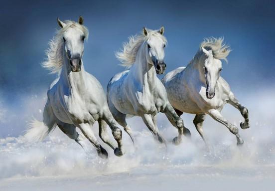 Wizzard and Genius Fotobehang Arabische Paarden