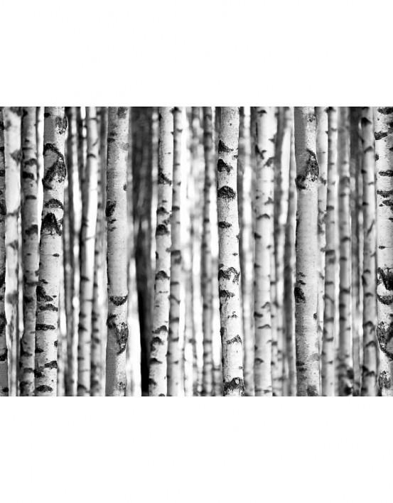 Fotobehang Berken Bos 232 cm x 315 cm